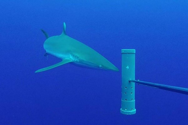 Silky shark at Ascension Island
