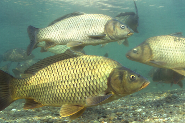 Carp swimming in water