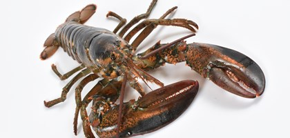 American lobster photo