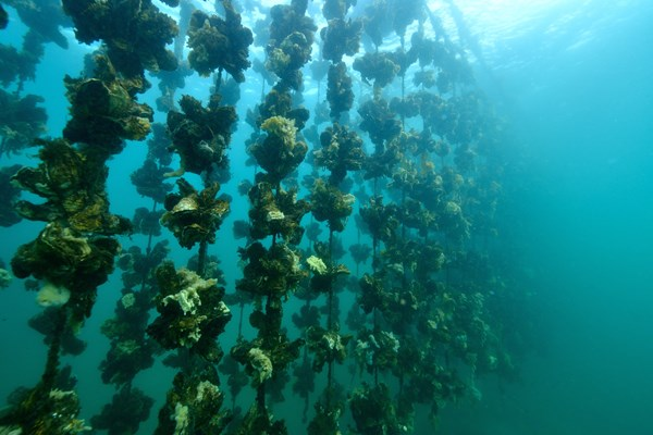 oysters grown on ropes underwater